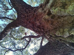 Tree trunk, reaching heavenward